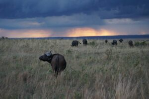 buffalo-sunset-masai-mara